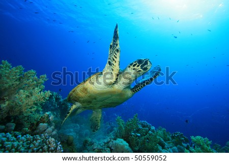 Hawksbill Sea Turtle takes off after feeding on a coral reef - stock photo