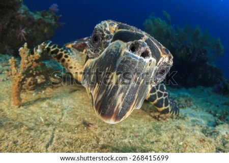 Hawksbill Sea Turtle underwater on ocean coral reef