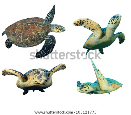 Hawksbill Sea Turtles isolated on white - stock photo