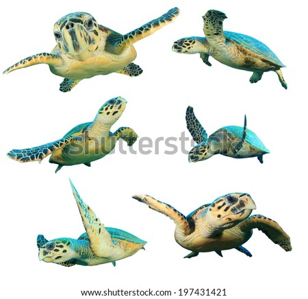 Hawksbill Sea Turtles isolated on white background - stock photo