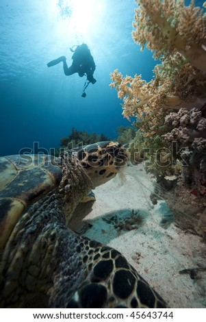 hawksbill turtle and diver silhouette taken in the Red Sea - stock photo