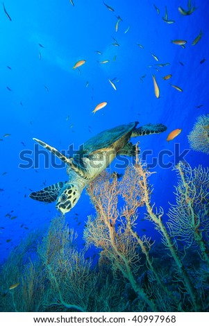 Hawksbill Turtle and Fan Corals in the Red Sea - stock photo