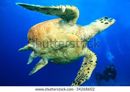 Hawksbill Turtle and Scuba Diver - stock photo