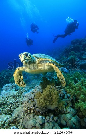 Hawksbill Turtle and Scuba Divers - stock photo