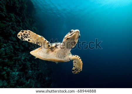 Hawksbill turtle and tropical reef  in the Red Sea - stock photo