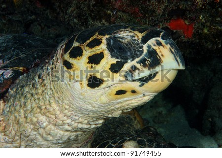 Hawksbill turtle close up of head
