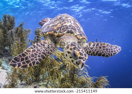 Hawksbill turtle close up on tropical reef