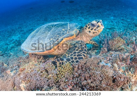 Hawksbill Turtle creates a cloud of silt as it feeds on a tropical coral reef - stock photo