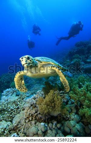 Hawksbill Turtle (Eretmochelys imbricata) and Scuba Divers - stock photo
