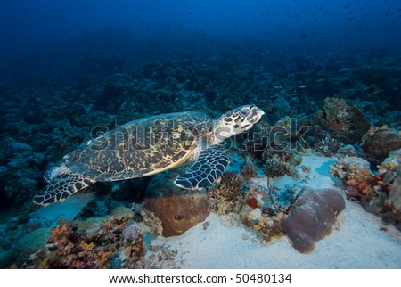 Hawksbill turtle (eretmochelys imbricata) cruising above coral reef. Red Sea, Egypt.
