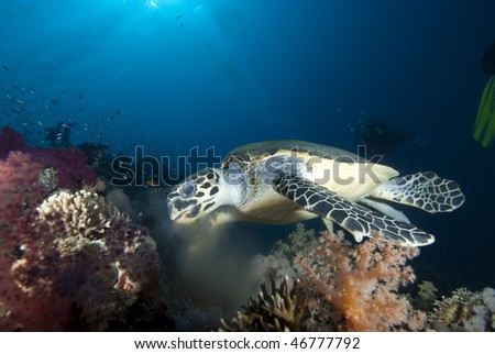 Hawksbill turtle (eretmochelys imbricata), endangered,feeding on soft corals in the early morning. Red Sea, Egypt. - stock photo