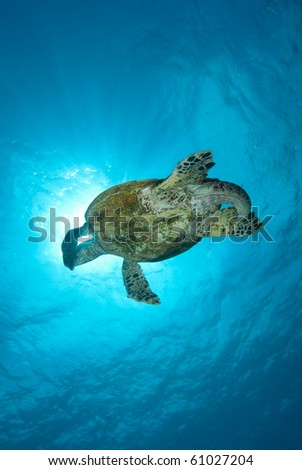 Hawksbill turtle (Eretmochelys imbricata), Endangered, swimming over the coral reef. Ras Mohammed national park. Red Sea, Egypt. - stock photo
