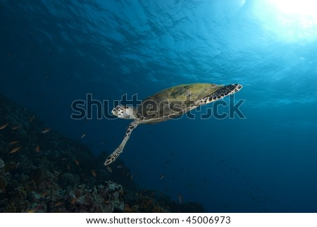 Hawksbill turtle (Eretmochelys imbricata), Endangered, Wide angle, side view, of a juvenile female swimming above the coral reef. Jackson Reef, Straits of Tiran, Gulf of Aqaba, Red Sea, Egypt. - stock photo