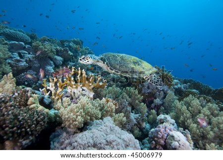 Hawksbill turtle (Eretmochelys imbricata), Endangered, Wide angle, side view, of a juvenile female swimming over the coral reef. Jackson Reef, Straits of Tiran, Gulf of Aqaba, Red Sea, Egypt. - stock photo