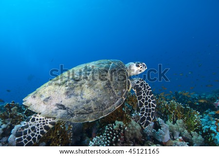 Hawksbill turtle (Eretmochelys imbricata), Endangered, Wide angle, side view, of a juvenile female swimming over the coral reef. Jackson Reef, Straits of Tiran, Gulf of Aqaba, Red Sea, Egypt.