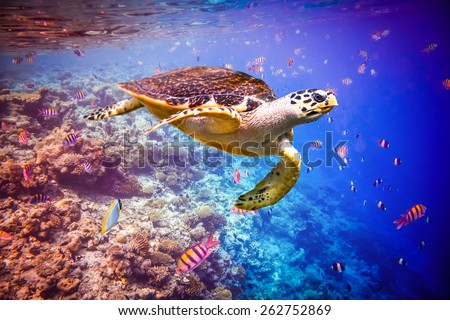 Hawksbill Turtle - Eretmochelys imbricata floats under water. Maldives - Ocean coral reef.  - stock photo