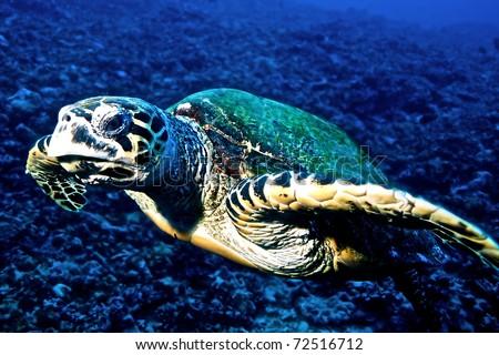 Hawksbill turtle (Eretmochelys imbricata) from Moorea island, Tahiti, French Polynesia. - stock photo