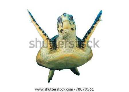 Hawksbill Turtle (Eretmochelys imbricata) on white background - stock photo