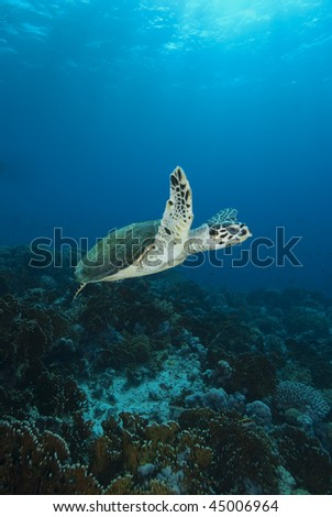Hawksbill turtle (Eretmochelys imbricata), Wide angle, side view, of a juvenile female. Endangered Species. Jackson Reef, Straits of Tiran, Gulf of Aqaba, Red Sea, Egypt.