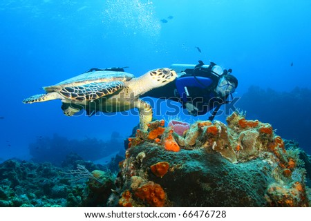 Hawksbill Turtle (Eretmochelys imbriocota) and diver in Cozumel Mexico - stock photo