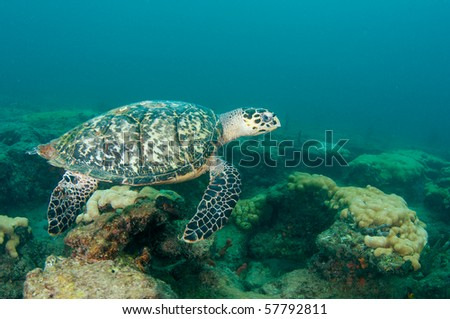 Hawksbill Turtle-Eretmochelys imbriocota on a reef in Broward County, Florida - stock photo