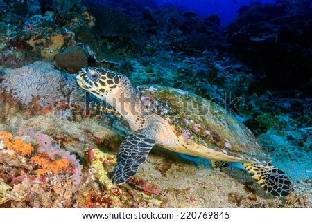 Hawksbill Turtle feeding on coral on a tropical reef - stock photo