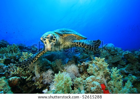 Hawksbill Turtle feeds on soft coral - stock photo