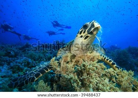 Hawksbill Turtle feeds on soft coral with scuba diver silhouettes in background - stock photo