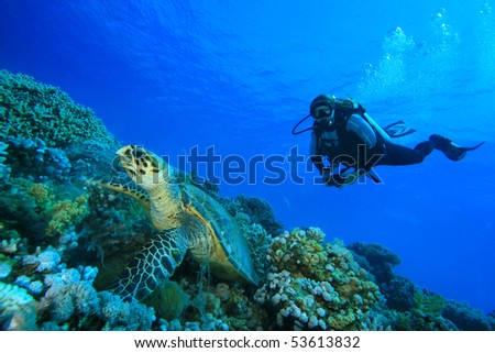 Hawksbill Turtle feeds while woman scuba diver observes - stock photo