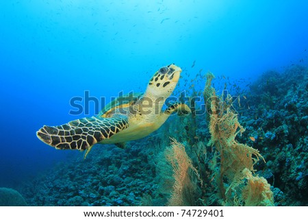 Hawksbill Turtle fins over Gorgonian Fan Corals in the Red Sea - stock photo