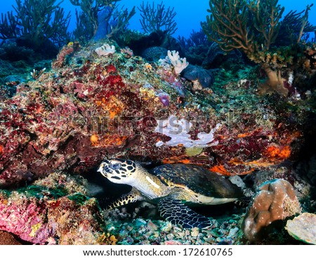 Hawksbill Turtle hiding under a coral ledge on a tropical reef - stock photo