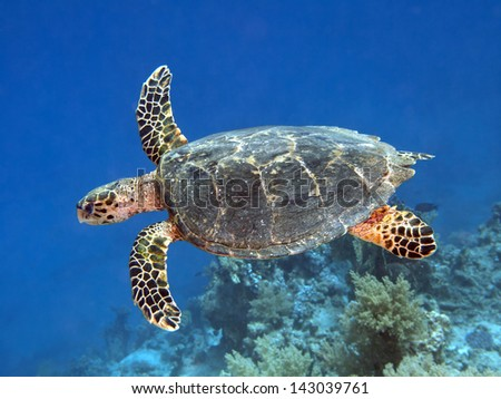 Hawksbill turtle in red sea - stock photo