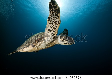 Hawksbill turtle in the Red Sea. - stock photo