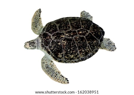 Hawksbill Turtle isolated on white background - stock photo