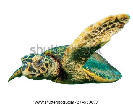 Hawksbill Turtle isolated white background - stock photo