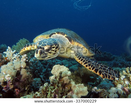 Hawksbill turtle looking for more soft coral to eat - stock photo