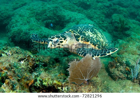 Hawksbill turtle on a reef ledge. - stock photo
