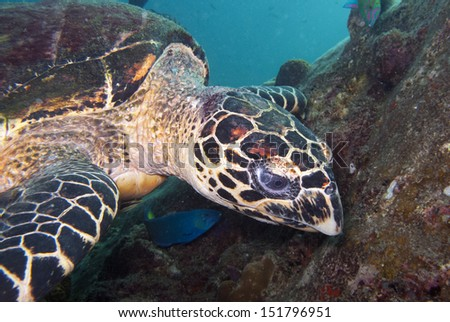 hawksbill turtle over coral close up