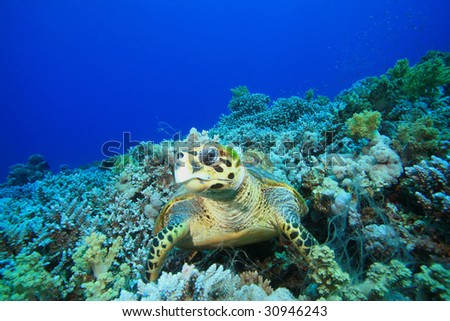 Hawksbill Turtle resting on coral reef - stock photo