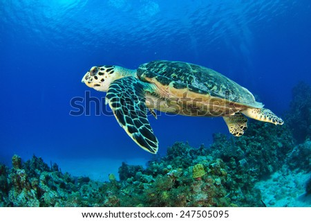 Hawksbill Turtle swimming over the reef, Grand Cayman - stock photo