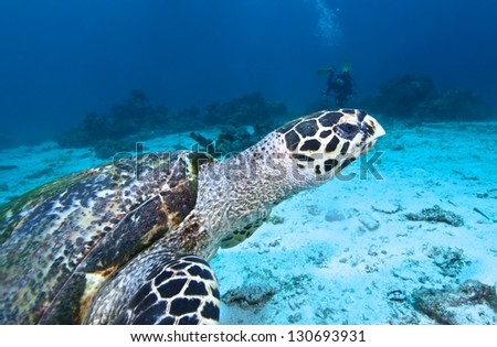 Hawksbill Turtle swims over coral reef - stock photo