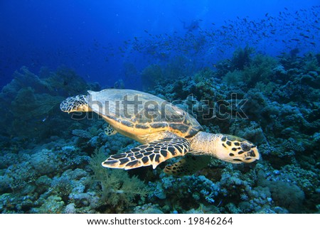 Hawksbill Turtle swims over Gorgonian Fan Corals
