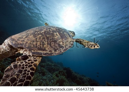 hawksbill turtle taken in the Red Sea