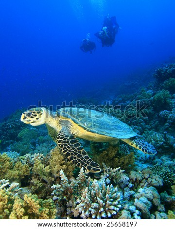 Hawksbill Turtle with Silhouette of Scuba divers in background - stock photo