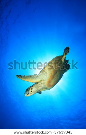 Hawksbill Turtle with sun behind - stock photo