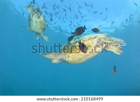 Hawksbill Tuttle swims in clean station, Hawaii. - stock photo