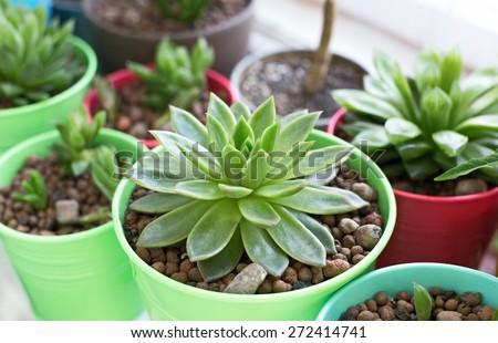 Haworthia succulent plant in vivid pot on windowsill, selective focus - stock photo