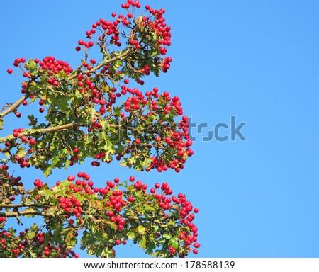 hawthorn berries - stock photo