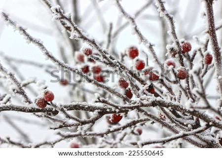 Hawthorn berries under heavy snow and ice. Selective focus - stock photo