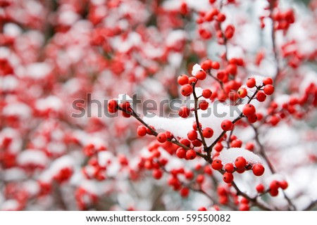 Hawthorn berries under snow - stock photo